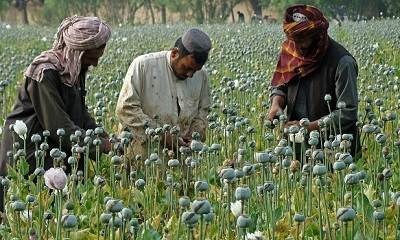 the opium poppy harvest has increased greatly in Afghanistan